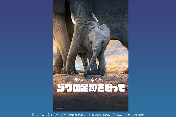 ディズニープラス『ディズニーネイチャー/ゾウの足跡を追って』の映像公開! - メーガン妃のインタビューもあり